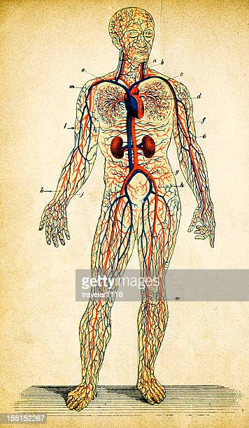 human circulatory system - blood vessel stock illustrations, clip art, cartoons, & icons