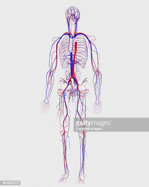 human circulatory system. - human body part stock illustrations