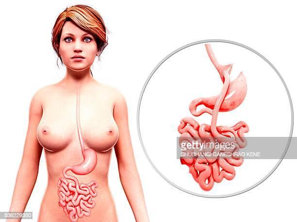 human digestive system, computer artwork. - human small intestine stock illustrations