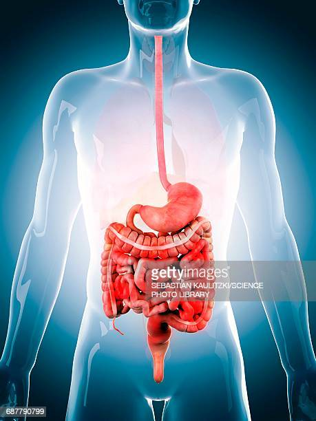 human digestive system, illustration - intestine stock illustrations