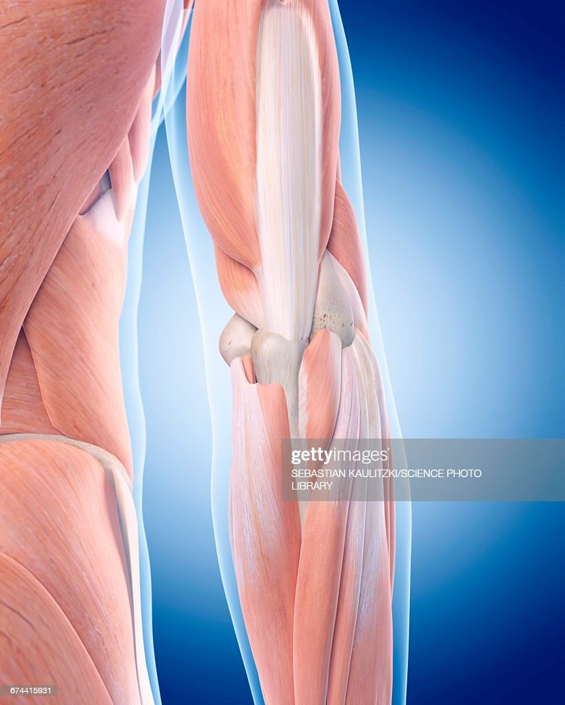 Human Elbow Muscles Stock Illustration Getty Images