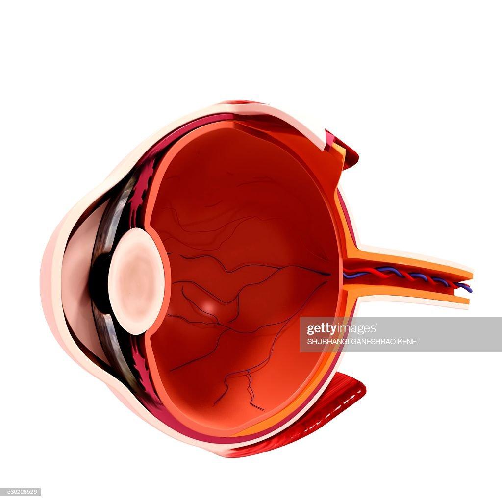 Human eye anatomy, computer artwork. : stock illustration