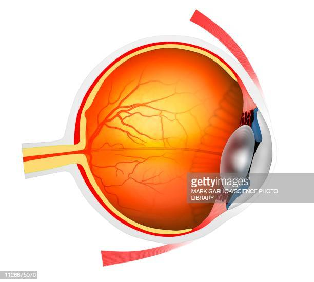 Human eye, illustration