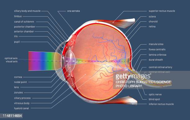 human eye, illustration - anatomy stock illustrations