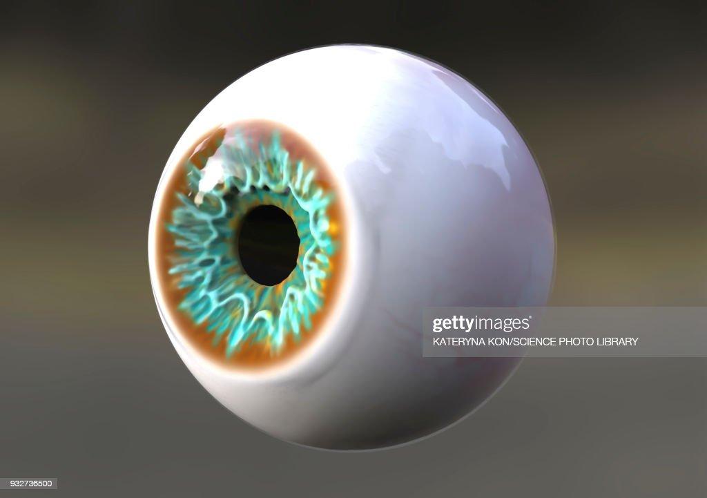 Human eye, illustration : stock illustration