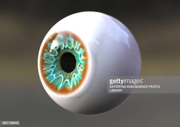 Human eye, illustration