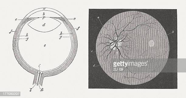 Human eye, wood engraving, published in 1883