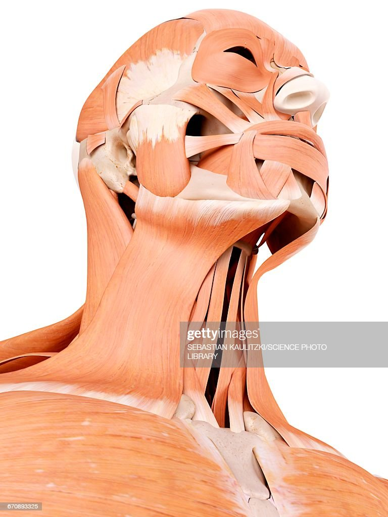 Human Face And Neck Muscles Stock Illustration Getty Images