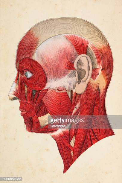 human face with muscles illustration - anatomical model stock illustrations, clip art, cartoons, & icons