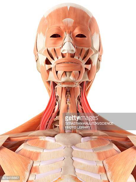 Facial Muscles Anatomy Stock Illustrations And Cartoons Getty Images