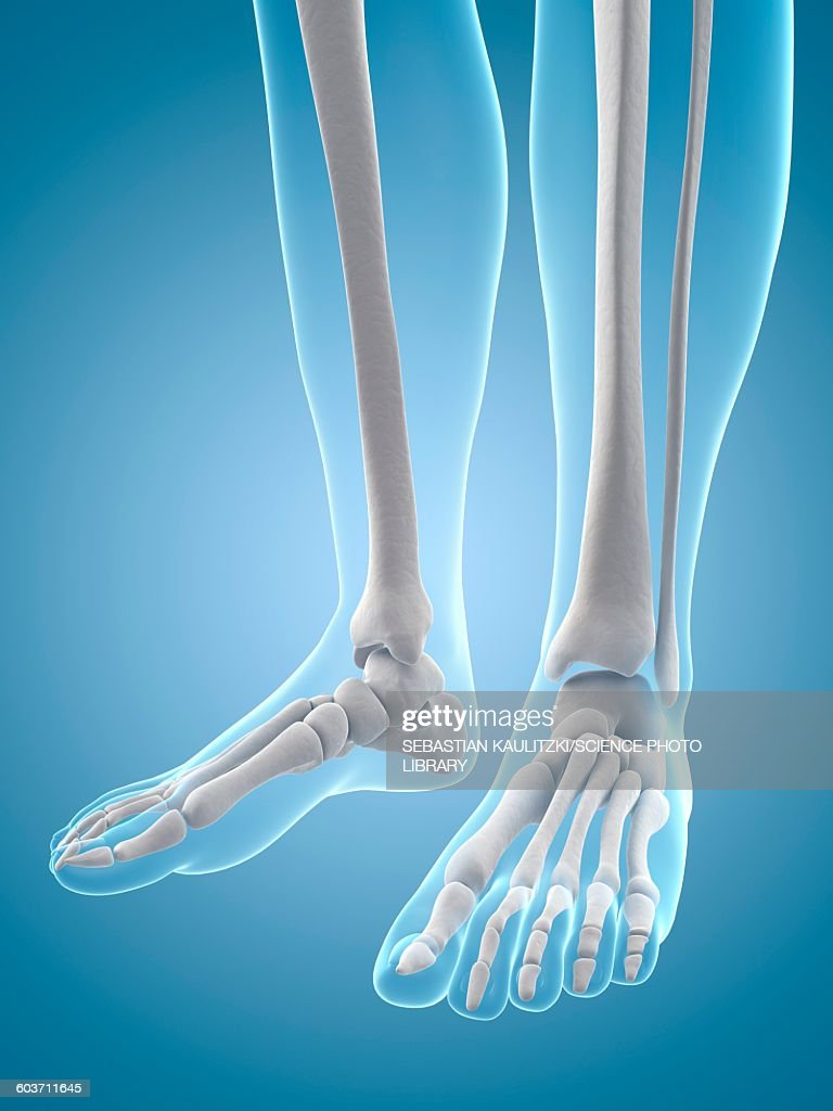 Human Feet Bones Illustration Stock Illustration | Getty Images