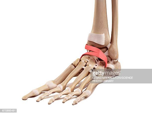 ilustraciones, imágenes clip art, dibujos animados e iconos de stock de human foot anatomy - músculo humano