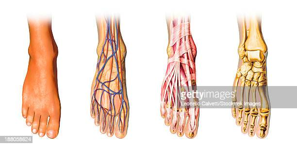 human foot anatomy showing skin, veins, arteries, muscles, and bones, cutaway view. - foot bone stock illustrations