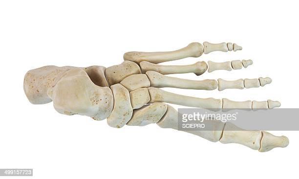 human foot bones, artwork - toe stock illustrations, clip art, cartoons, & icons
