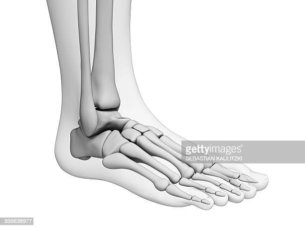 human foot bones, artwork - foot bone stock illustrations