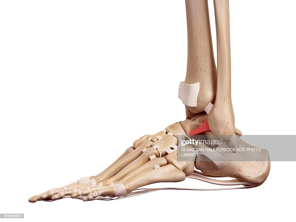 Human Foot Ligaments Stock Illustration Getty Images