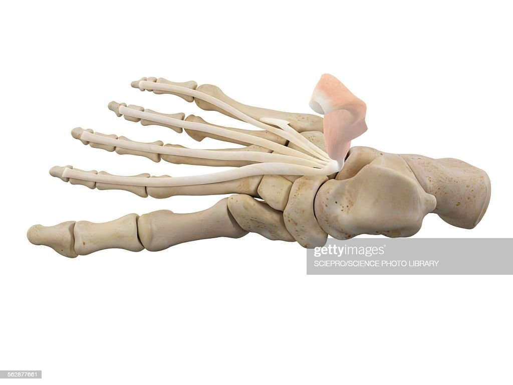 Human Foot Ligaments Illustration Stock Illustration Getty Images