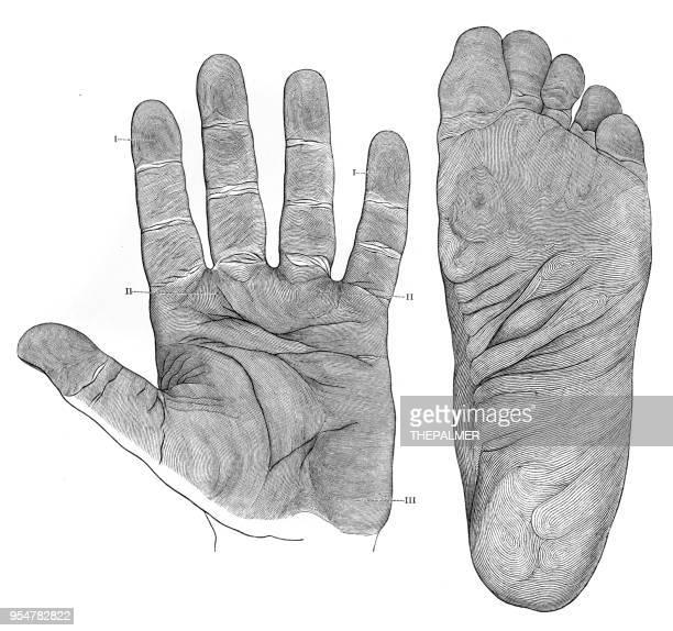 human foot papillae engraving 1894 - toe stock illustrations, clip art, cartoons, & icons