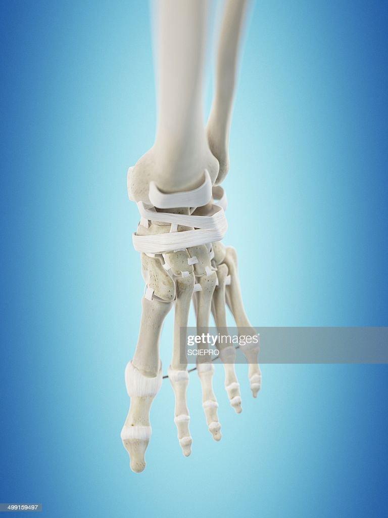 Human Foot Tendons Artwork Stock Illustration Getty Images