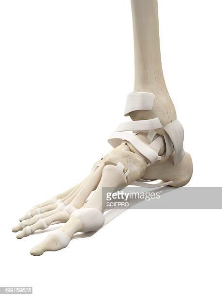 Human foot tendons, artwork