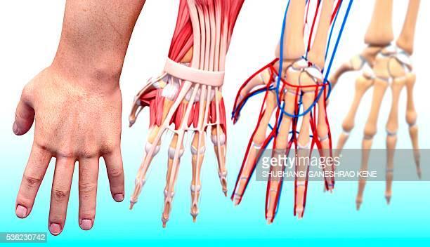 Human hand anatomy, computer artwork.