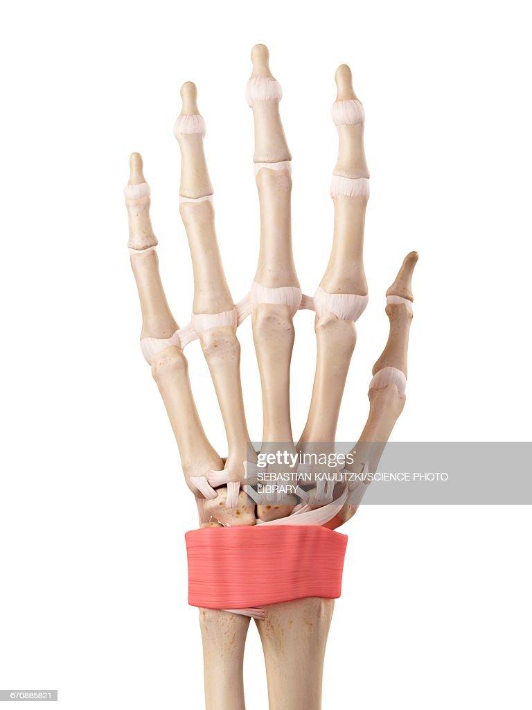 Human Hand Anatomy Stock Illustration Getty Images