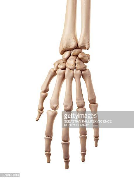 human hand bones - human body part stock illustrations