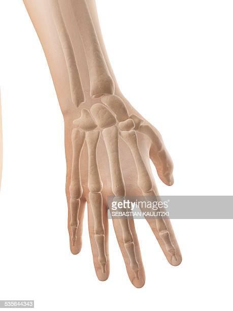human hand bones, illustration - wrist stock illustrations, clip art, cartoons, & icons