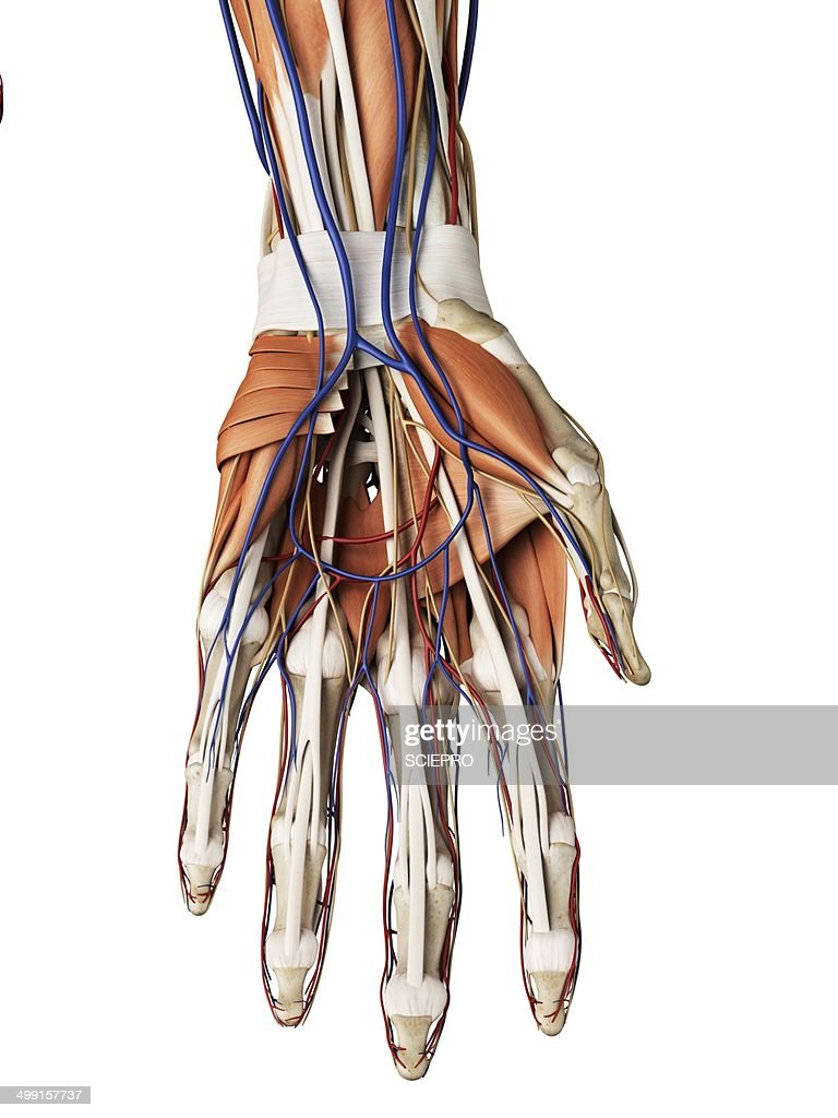 Human Hand Muscles Artwork Stock Illustration Getty Images