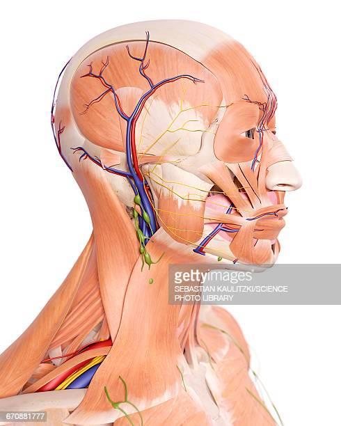 human head anatomy - biomedical illustration stock illustrations