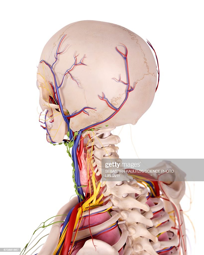 Human Head Anatomy Stock Illustration Getty Images