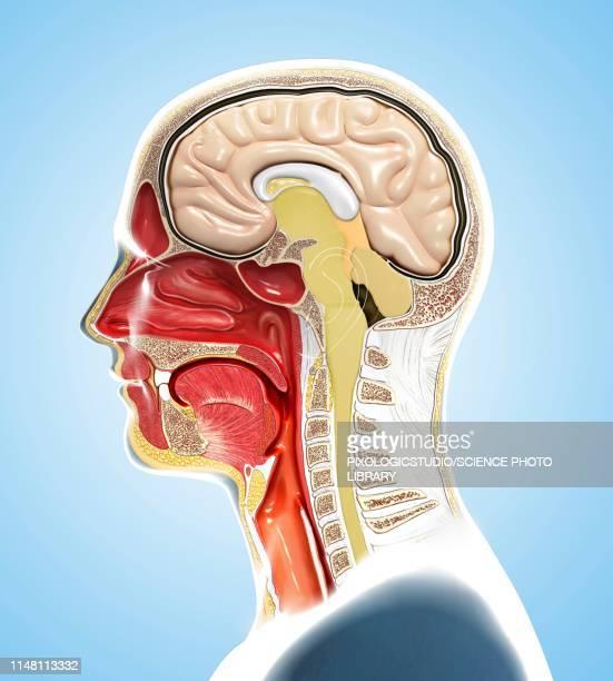 human head anatomy, illustration - human representation stock illustrations