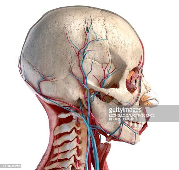 human head anatomy, illustration - menschlicher kopf stock-grafiken, -clipart, -cartoons und -symbole