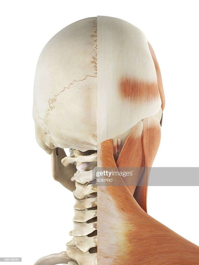 Human Head And Neck Muscles Artwork Stock Illustration Getty Images
