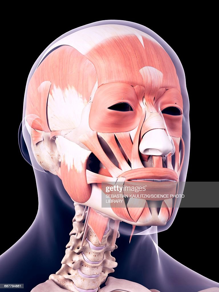 Human Head Muscles Illustration Stock Illustration Getty Images