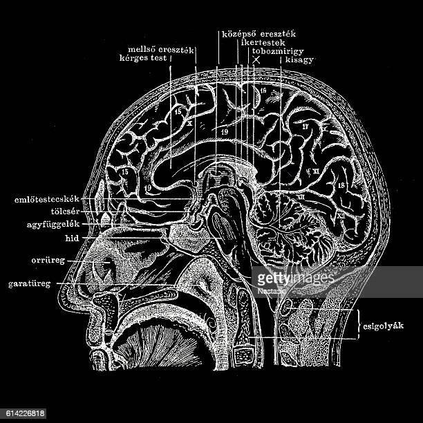 Human head section