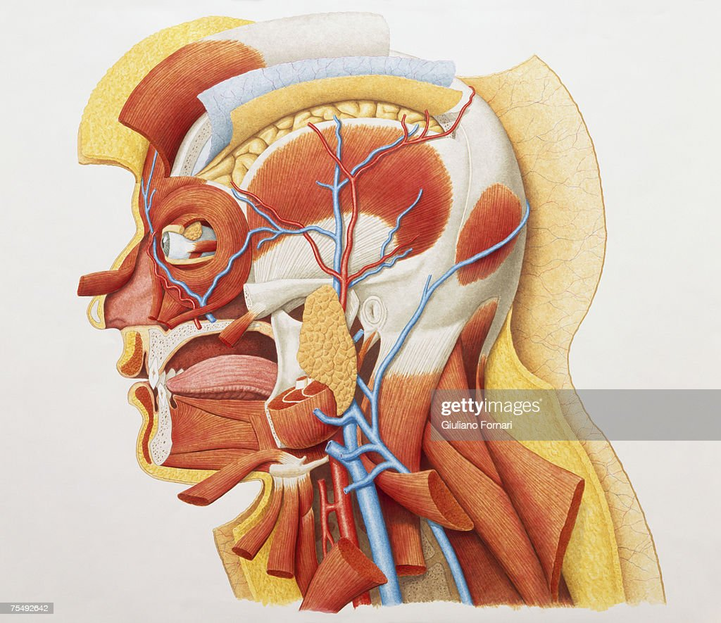 Human Head Showing Facial And Neck Muscles And Veins Stock