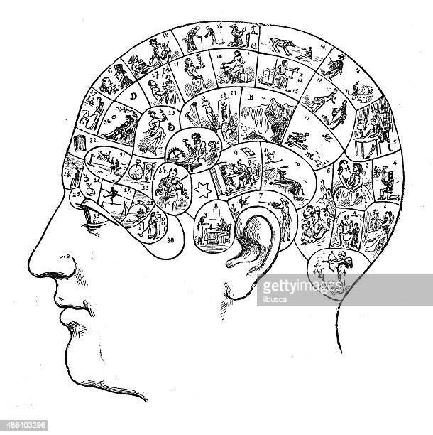 ilustrações, clipart, desenhos animados e ícones de cabeça humana com caveira estudo de frenologia - cabeça humana