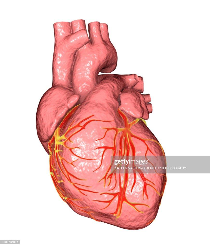 Human Heart Anatomical Illustration Stock Illustration Getty Images