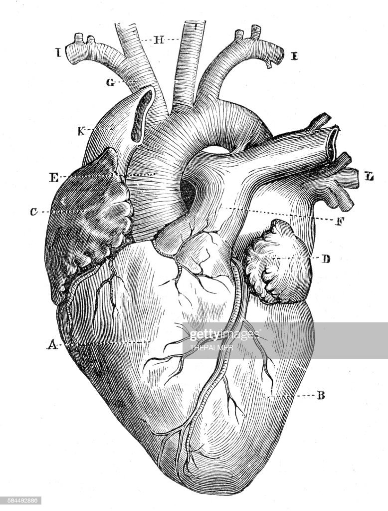 Human Heart Anatomy 1888 Stock Illustration | Getty Images