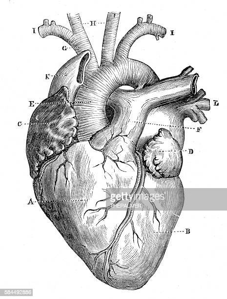 Human Heart Anatomy 1888