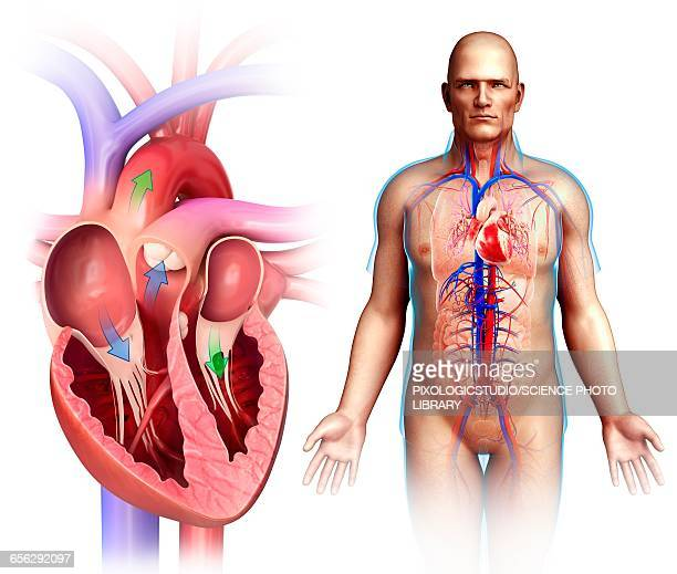 human heart anatomy, illustration - heart ventricle stock illustrations