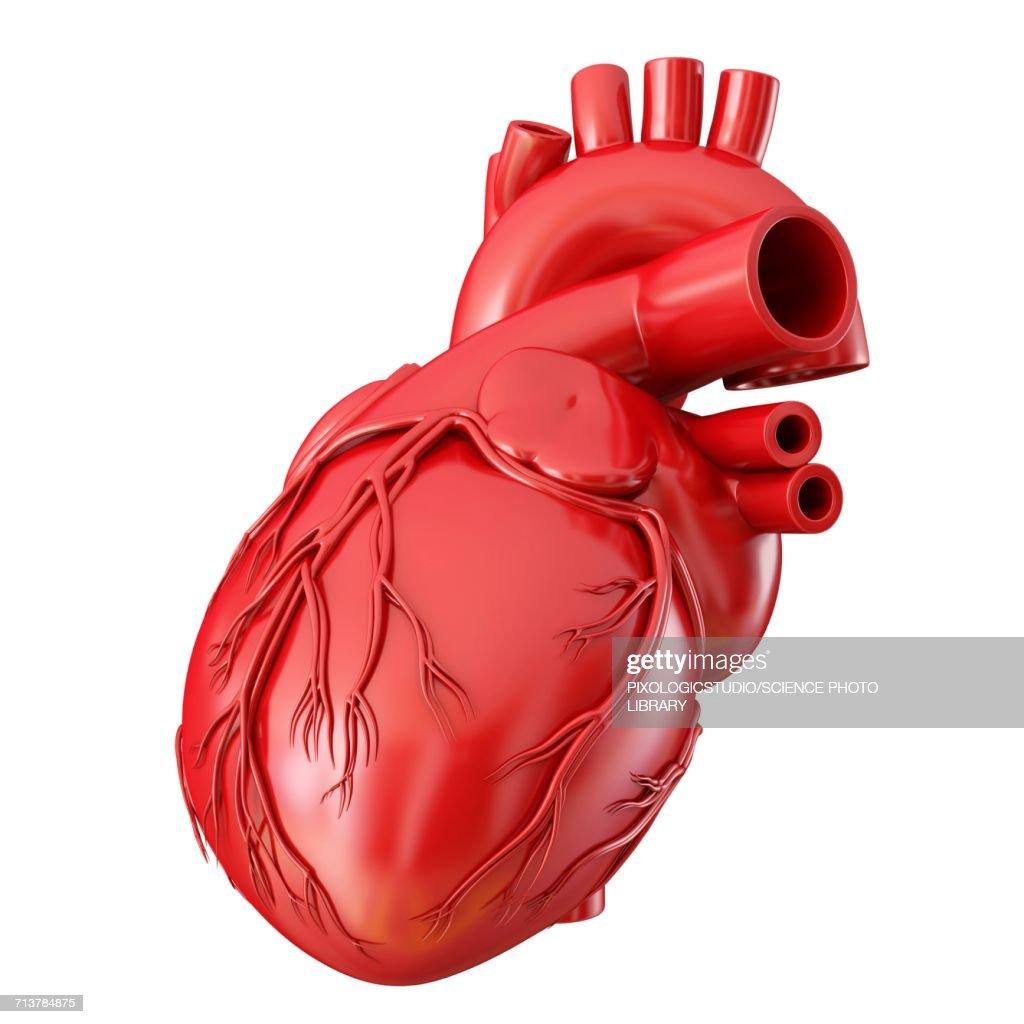 Human Heart Anatomy Illustration Stock Illustration Getty Images