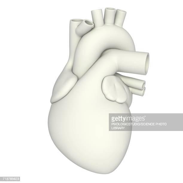 human heart anatomy, illustration - biology stock illustrations