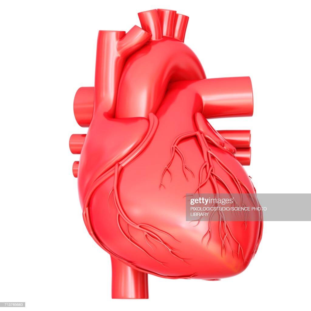 Human Heart Anatomy Illustration Stock Illustration | Getty Images