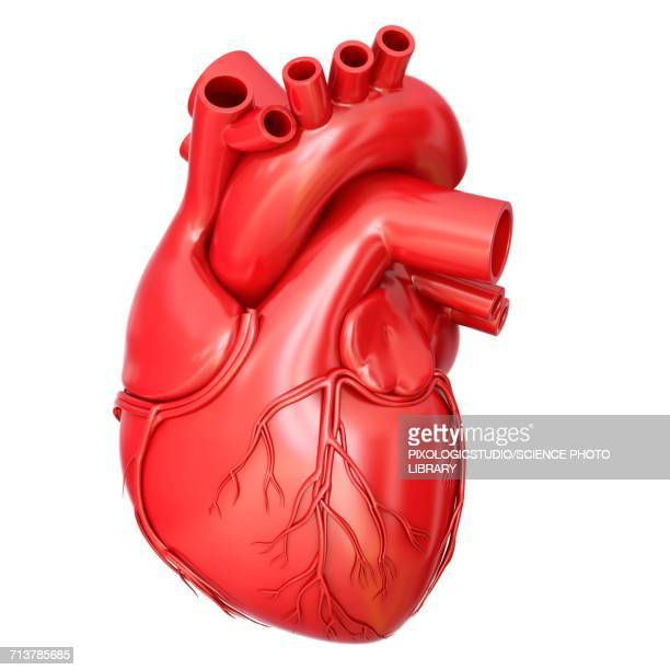 human heart anatomy, illustration - anatomy stock illustrations
