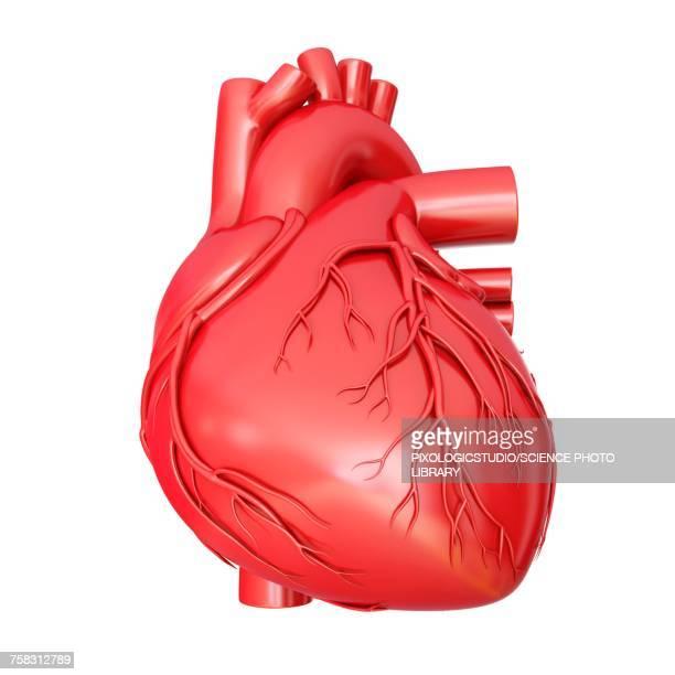 human heart anatomy, illustration - cardiopulmonary system stock illustrations, clip art, cartoons, & icons