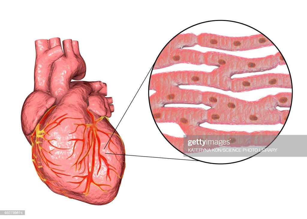 Human Heart And Cardiac Muscle Illustration Stock Illustration ...