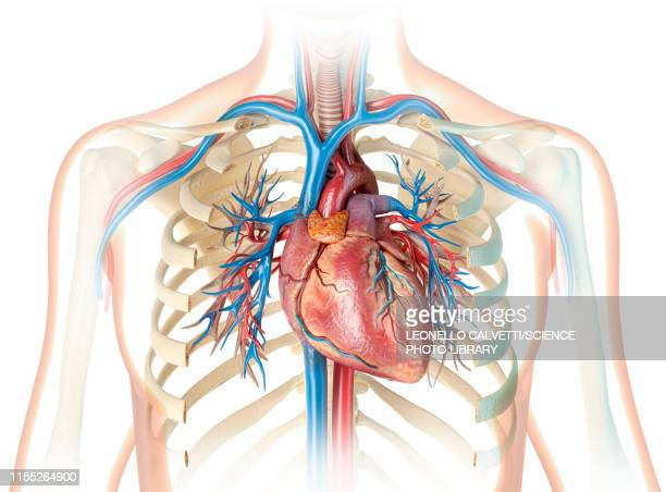 human heart and chest, illustration - human internal organ stock illustrations