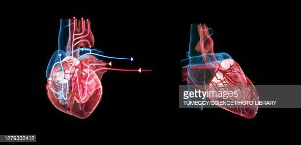 human heart and its circulatory system, illustration - heart ventricle stock illustrations